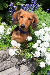 Dachshund puppy in the garden.