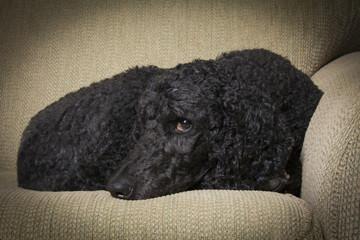 Blue Standard Poodle 2
