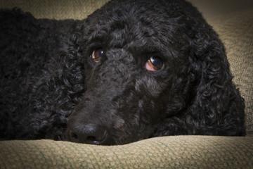 Blue Standard Poodle 3