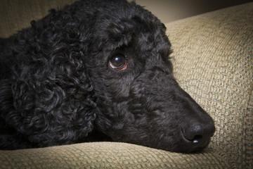 Blue Standard Poodle 4