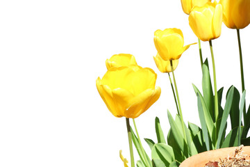 yellow tulip spring flower on white background