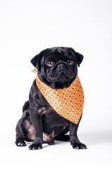 Black fashionable dog