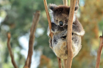 Wall Murals Koala Koala sleep on an eucalyptus tree