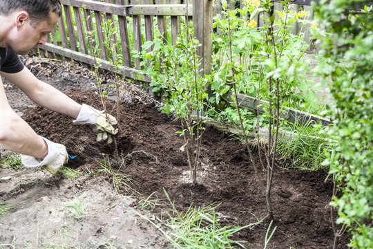 Ligusterhecke anpflanzen