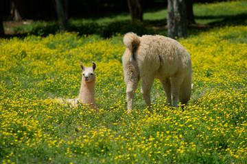 Llama and young