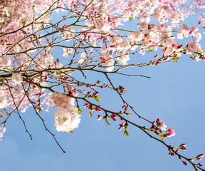 Blütentraum im Frühling: Japanische Kirschblüten :)