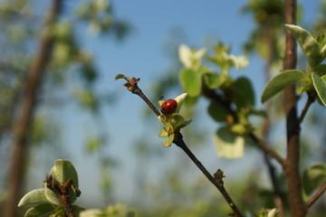 Ladybird on leaves of an apple-tree