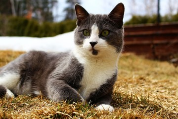 Grey and white cat laid on the grass