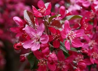 Crabapple tree in blossom