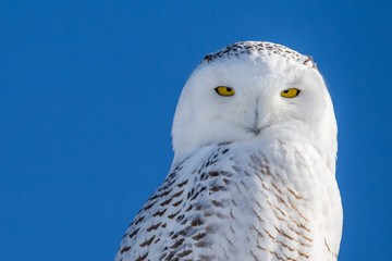 Wall Mural - Snowy Owl - Portrait Set Against Blue Sky