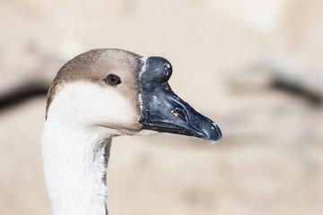 Goose Head Photo