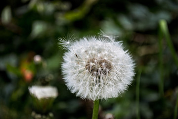 background beyond its blossom dandelions