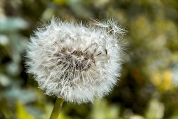 macro dandelion wallpaper