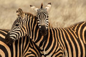 Wall Mural - Abbraccio tra zebre