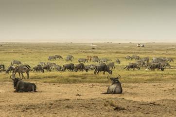 Wall Mural - Zebre, bisonti e altri animali nella savana