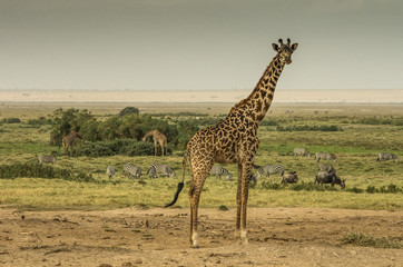 Wall Mural - Giraffa, zebre e gnu nella savana