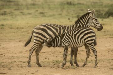 Wall Mural - Zebra che allatta