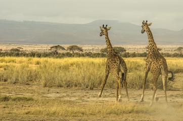 Wall Mural - Giraffe che corrono
