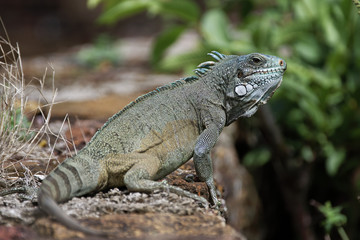 Iguane aux iles du Salut en Guyane