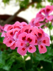 Balkon Begonie rosa