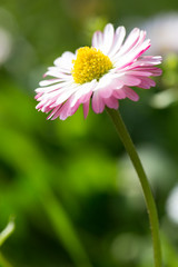 Beautiful spring daisy,floral background