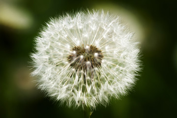macro one white fluffy dandelion