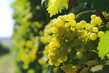 fresh bunch of white grapes on the field