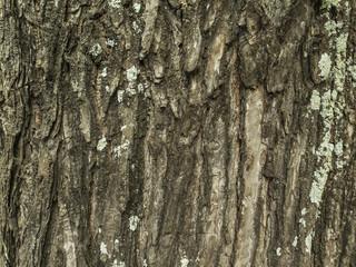 Textura corteza de árbol. Con líquenes.