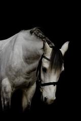 portrait of a welsh pony stallion in black background