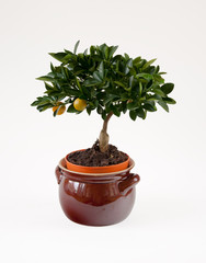 Little lemon tree