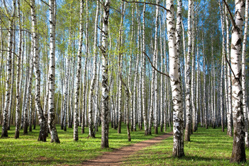 First spring greens in the evening birch grove