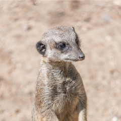 Playful and curious suricates in a small open resort