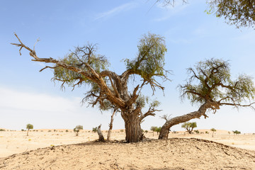 Trees among sand dunes in Rub al-Khali desert (Oman)