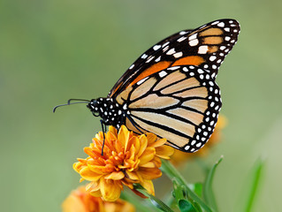 Monarch butterfly on garden flowers during autumn migration