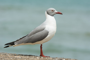 A Grey-Headed Gull (Larus cirrocephalus) standing in profile