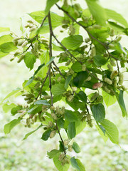mulberry tree with unripe fruits