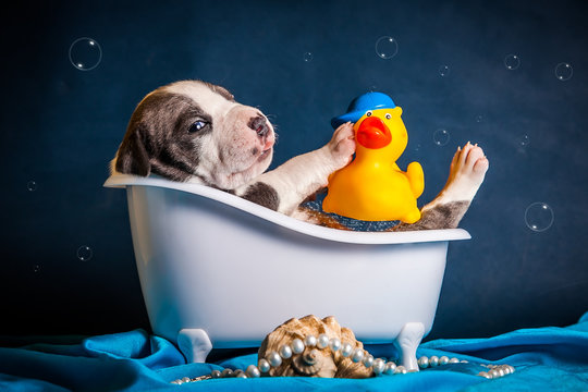 Голубой щенок породы питбультерьер  в ванночке с пенкой и уткой
