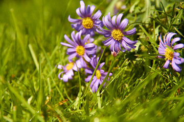 Purple flowers grow in the green grass