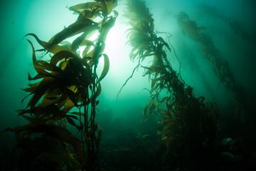 Wall Mural - Giant Kelp 1