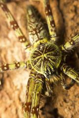 Close-up of a large lichen spider , Malaysia, Borneo