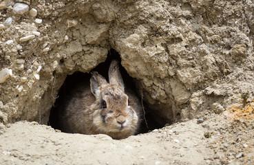 Western Cottontail Rabbit