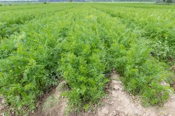 Mohrrüben auf dem Feld in der Landwirtschaft