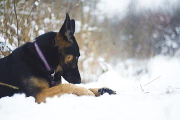 german shepherd puppy with stick