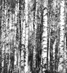 Birch trees black and white