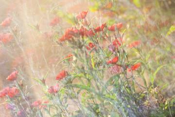 Dianthus Background