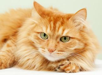 cute fluffy red  cat