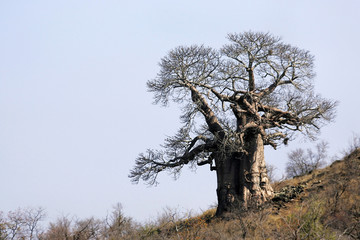 Large Baobab on a hillside