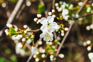 sprig of blossoming cherry in spring garden