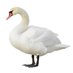 Foto op Aluminium Zwaan Mute Swan standing. Isolated on white background.
