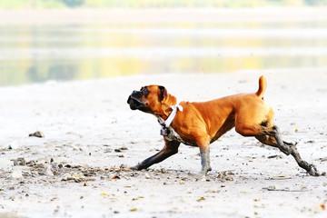 german boxer dog running down the beach